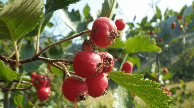 high-blood-pressure-diet-hawthorn